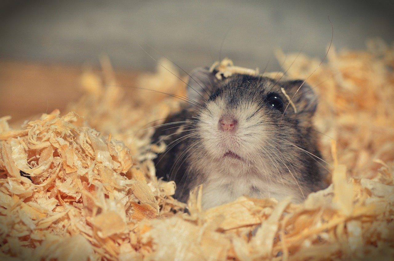 Hamster ligger i hø